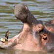 Hippo Mouth Wide Open in Africa — Stock Photo
