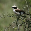 Northern White-crowned Shrike, Africa — Stock Photo #11346842