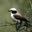 Northern White-crowned Shrike, Africa — Stock Photo #11346846
