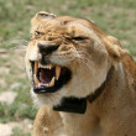 Female Lion - Serengeti Safari, Tanzania, Africa — Stock Photo #11346894