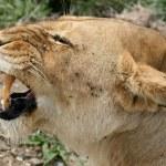 Female Lion - Serengeti Safari, Tanzania, Africa — Stock Photo #11346933