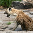 Hyena - Serengeti, Africa — Stock Photo
