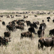 Wildebeest - Ngorongoro Crater, Tanzania, Africa — Stock Photo