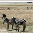 Zebra - Ngorongoro Crater, Tanzania, Africa — Stock Photo