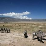 Zebra - Ngorongoro Crater, Tanzania, Africa — Stock Photo #11347275