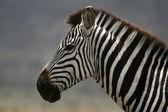 Zebra - Serengeti Safari, Tanzania, Africa — Stock Photo