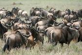 Wildebeest - Serengeti Safari, Tanzania, Africa — Stock Photo
