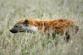 Hyena - Serengeti, Africa — Photo