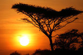 Acacia Tree Sunset, Serengeti, Africa — Stock Photo