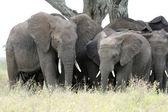 African Elephant, Tanzania, Africa — Stock Photo