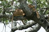 Lion sitting in Tree - Serengeti, Africa — Stock Photo