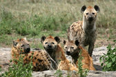Hyena - serengeti, afrika — Stockfoto