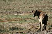 Hyena - Ngorongoro Crater, Tanzania, Africa — Stock Photo