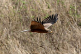 Black Kite - Ngorongoro Crater, Tanzania, Africa — Stock Photo