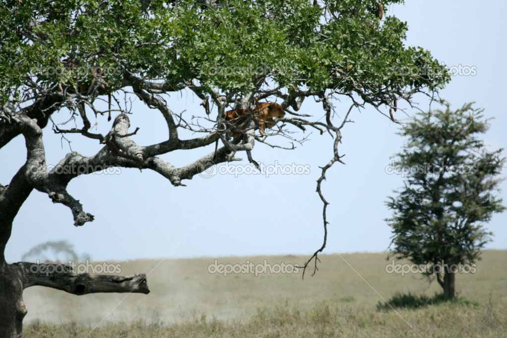 Lion sitting in Tree - Serengeti Wildlife Conservation Area, Safari, Tanzania, East Africa — Stock Photo #11346856