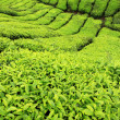 Tea Plantation, Malaysia — Stock Photo