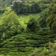 Tea Plantation, Malaysia - Stock Photo