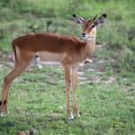 Imapala Antelope - Maasai Mara Reserve - Kenya — Stock Photo #11433870
