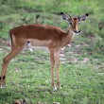 Imapala Antelope - Maasai Mara Reserve - Kenya — Stock Photo #11433873