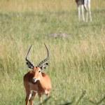 Imapala Antelope - Maasai Mara Reserve - Kenya — Stock Photo #11433912