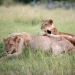 Lion Couple - Maasai Mara Reserve - Kenya — Stock Photo