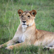 Lion - Maasai Mara Reserve - Kenya — Stock Photo
