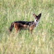 Jackal - Maasai Mara Reserve - Kenya — Stock Photo