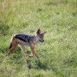 Jackal - Maasai Mara Reserve - Kenya - Stock Photo