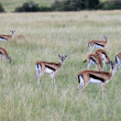 Thompsons Gazelle - Maasai Mara Reserve - Kenya — Stock Photo