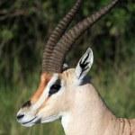 Imapala Antelope - Maasai Mara Reserve - Kenya — Stock Photo #11434106