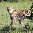 Cheetah - Maasai Mara Reserve - Kenya — Stock Photo