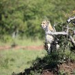Cheetah - Maasai Mara Reserve - Kenya - Stock Photo
