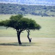 Acacia Tree - Kenya — Stock Photo