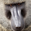 Baboon - Kenya - Stock Photo