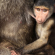 Baby Baboon - Kenya — Stock Photo
