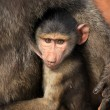 Baby Baboon - Kenya - Stock Photo