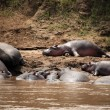 Hippo in Mara River - Kenya - Stock Photo