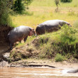 Hippo in Mara River - Kenya — Stock Photo