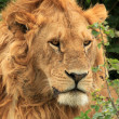 Male Lion - Kenya — Stock Photo #11434449