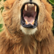 Stock Photo: Male Lion - Kenya