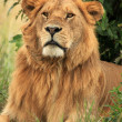 Male Lion - Kenya — Stock Photo #11434469