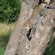 Leopard in Tree - Kenya — Photo