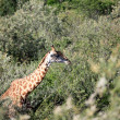 Giraffe - Maasai Mara Reserve - Kenya — Stock Photo