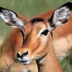 Impala - Kenya — Stock Photo #11434890