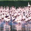 Pink Flamingoes - Lake Nukuru Nature Reserve - Kenya — Stok Fotoğraf #11434931
