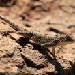 Lizard in Kenya - Stock Photo
