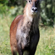 Bush Buck - Kenya — Stock Photo