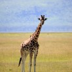 Постер, плакат: Giraffe Kenya