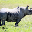 Rhino in Kenya — Stock Photo