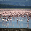 Pink Flamingoes - Lake Nukuru Nature Reserve - Kenya — Stock Photo